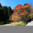 Maple tree in autumn - Stock Photo