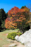 Maple tree in autumn — Stockfoto