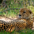 Stock Photo: Cheetah in wild Kenya