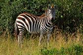 Cebra africana — Foto de Stock