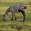 Wounded African zebra — Stock Photo
