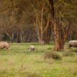 Couple of white Rhino in Lake Nakuru Africa — Stock Photo