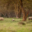 Couple of white Rhino in Lake Nakuru Africa — Stock Photo #7032868