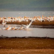 Pelicans in Lake Nakuru — Stock Photo