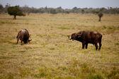 Two African buffalo — Stock Photo