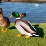 Couple of Ducks — Stock Photo