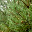 Fresh needles on a fir tree with water drops — Stock Photo #7809771