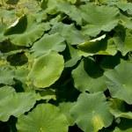Lotus in full bloom — Stock Photo