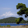 图库照片: Pine tree on island Losinj, Croatia