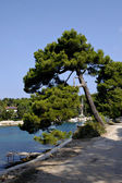 Pine tree on Island Losinj, Croatia. — Stock Photo