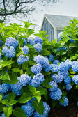 Hydrangea flowers with a small blue cottage in the background. — Stock Photo