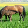 Mares and foals in the — Stock Photo