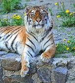 Portret tygrysa — Zdjęcie stockowe