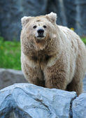 Portrait of Bear — Foto Stock