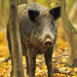 Wild pig in autumn forest — Stock Photo #6830137