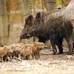 Wild pig — Stock Photo #6830147
