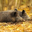 Wild pig in the autumn forest — Stock Photo #6830268