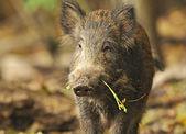 Vilda grisen i en livsmiljö — Stockfoto