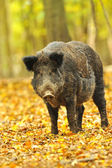 Wild pig in the autumn forest — Stock Photo