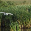 Little egret (Egretta Garzetta) flying in its environment - Stockfoto