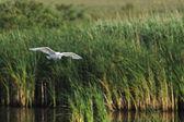 Little egret (Egretta Garzetta) flying in its environment — Stock Photo