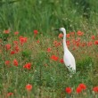Little egret (Egretta Garzetta) among poppies — Stock Photo