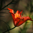 Fire Lily in dark underwood — Stock Photo