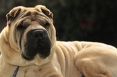 Pure-bred Shar Pei dog — Stock Photo