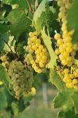Cluster of white grape — Stock Photo
