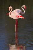 Twee grotere flamingo's permanent single-legged in ondiep water — Stockfoto
