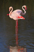 Two greater flamingoes standing single-legged in shallow water — Stockfoto