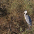 Grey heron perched on a tamarisk branch — Stock Photo