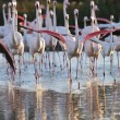 Flock of greater flamingos charging towards camera — Stock Photo #7805041