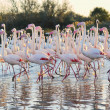 Stock Photo: Large flock of greater flamingos