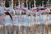 A flock of greater flamingos charging towards the camera — Stock Photo