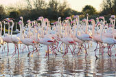 A large flock of greater flamingos — Stock Photo