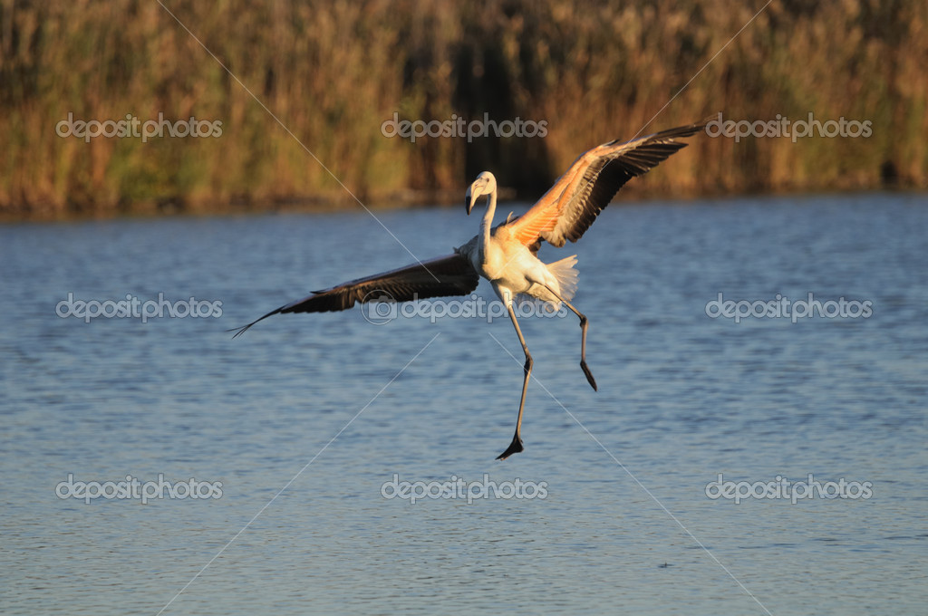 Juvenile greater flamingo (Phoenicopterus roseus) landing clumsily in shallow water — Stock Photo #7805011