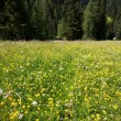 Stock Photo: Flowery meadow in Val Gardena