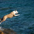 Dog plunges into the sea from the cliff — Stock Photo