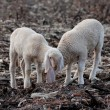 Lambs in the flock — Stock Photo