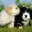 Black and white puppy dogs — Stock Photo #6764817