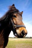 Pferd Gesicht ist gewählte interessiert — Stockfoto