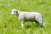 Easter lamb — Stock fotografie