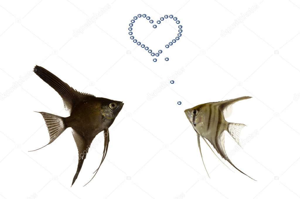 Two fish in love. One fish is making a hart with airbubbles. — Stock Photo #6933816
