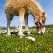 Horse foal eating green grass — Stock Photo