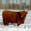 Cow in snow — Stock Photo