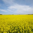 Stock Photo: Landscape with rape field