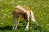 Young horse on green field — Foto de Stock