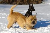Dos perros en la nieve — Foto de Stock
