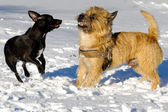 Two dogs playing — Foto de Stock